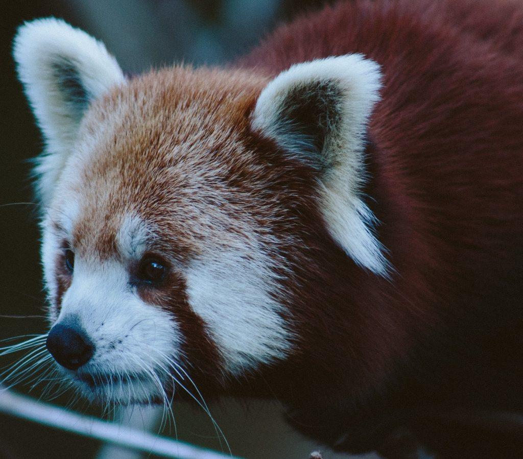 small-red-panda